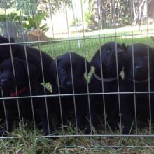 Hunting lab pups